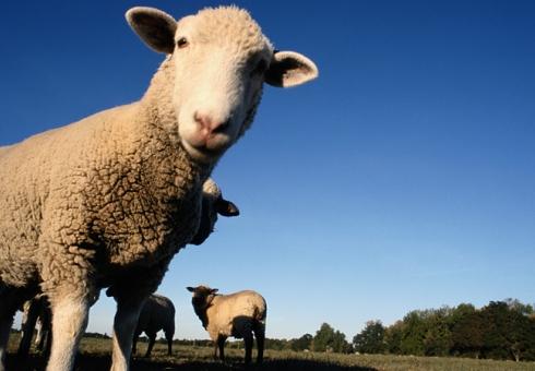 Спустя полгода полицейские отыскали похитителей 5-ти овец