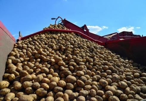 Почти 4 млн ц картофеля собрали в Саратовской области