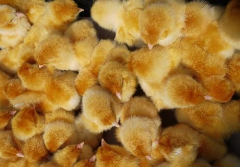 ВСаратовскую область непропустили 90 000 цыплят изДагестана