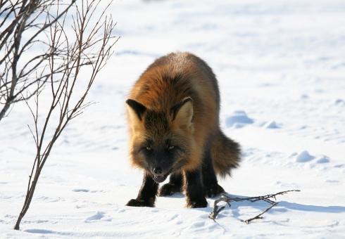 ВСаратовской области закрыта охота напушных зверей